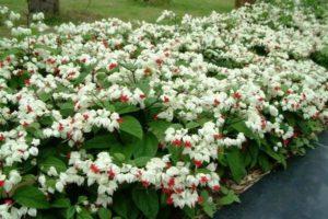 Ngọc nữ có sức sống tốt và cho nhiều hoa