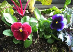 Phăng xê thường được trồng vào đầu đông hoặc mùa xuân