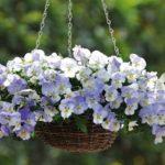 cây hoa pansy(xanh)
