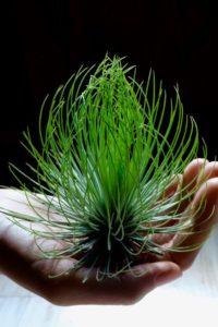 Cây không khí hấp thụ dinh dưỡng từ lá