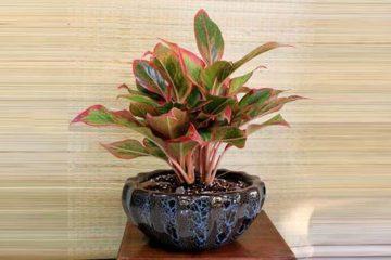 Cây Phú Quý – Đặc điểm, ý nghĩa phong thủy và cách chăm sóc