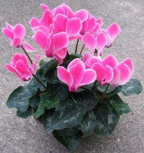 Sen cạn hồng, hoa rất bắt mắt