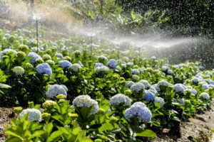 Chú ý tưới nước và tỉa cành cho cây cẩm tú cầu