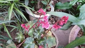 Hoa sen cạn có nhiều loại, nhiều màu khác nhau