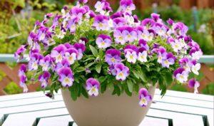 Ngắm hoa bướm giúp cho tinh thần sảng khoái, thư thái hơn