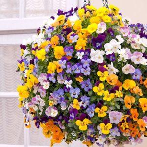 Hoa pansy dùng trang trí và y học