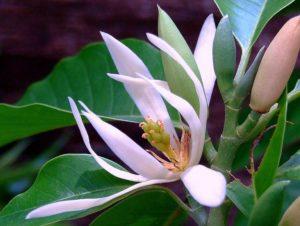 Hoa ngọc lan rất thơm