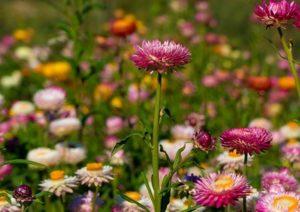 Hoa bất tử màu tím phớt hồng