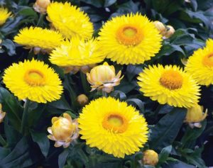 Hoa bất tử màu vàng