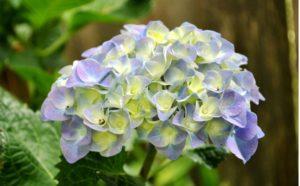 chùm hoa cẩm tú
