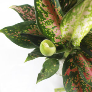 Hoa của cây Vạn Lộc