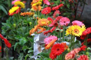 Cây hoa cúc đồng tiền trang trí ven đường