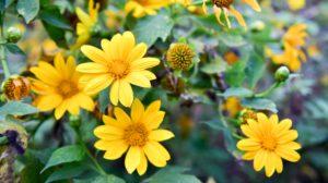 Cây hoa dã quỳ – Loài hoa dại có sức hút mạnh mẽ