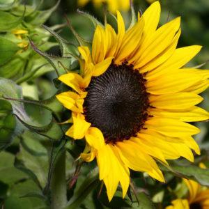 Hướng dương sinh trưởng khá nhanh và hoa to, tùy vào kích thước cây
