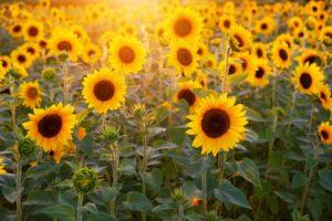 Vườn hoa hướng dương dưới nắng sớm