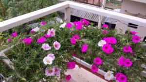 Hoa mười giờ trồng trên ban công