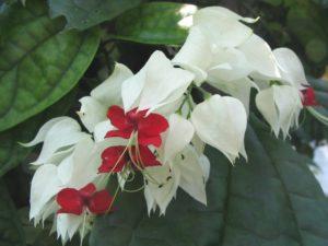 Cây hoa ngọc nữ có nguồn gốc từ Châu Phi