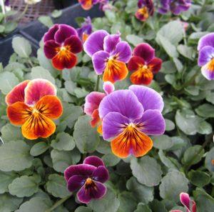Hoa păng xê này rất nhiều màu sắc, mỗi hoa thường có 3 màu
