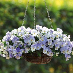 Pansy là loài hoa lai tạo giữa Viola lutea với Viola altaica