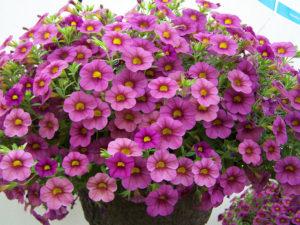 Hoa Triệu Chuông rất đa dạng màu sắc, trồng kết hợp rất cuốn hút ánh nhìn