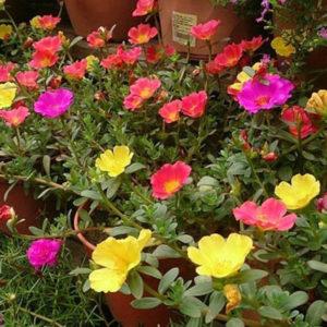 Hoa mười giờ đa dạng màu sắc và rất bắt mắt