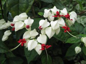 Hoa ngọc nữ trang trí cảnh quan