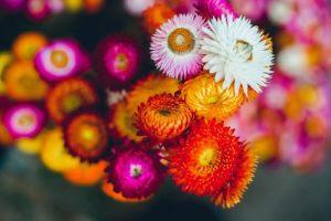 Hoa bất tử dùng để trang trí và làm quà tặng rất tuyệt