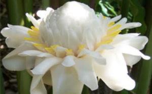 Hoa sen đa lộc trắng