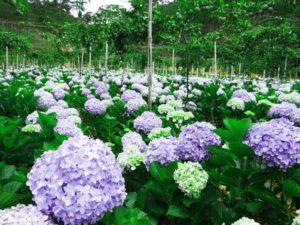 Vườn hoa Cẩm Tú Cầu tại Đà Lạt