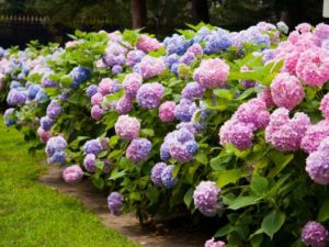 Cẩm Tú Cầu có màu sắc đa dạng, phụ thuộc vào độ PH của đất