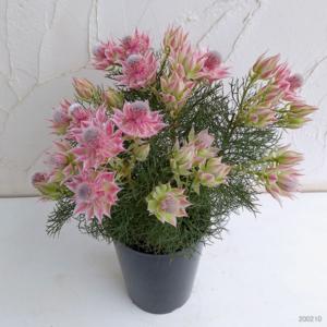 Cây Hoa Ngọc Sắc dùng trang trí rất nổi bật và bắt mắt