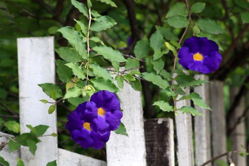 Hoa Cát Đằng trang trí đẹp mắt  và có nhiều công dụng