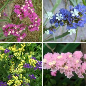 Một số màu phổ biến của salem