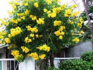 Cây hoa chuông vàng trang trí sân vườn