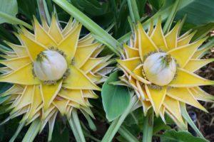 Hoa chuối tài lộc hay chuối sen vàng