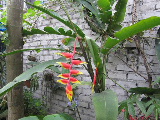 Cây chuối tràng pháo – Cây độc lạ đến từ Châu Mỹ