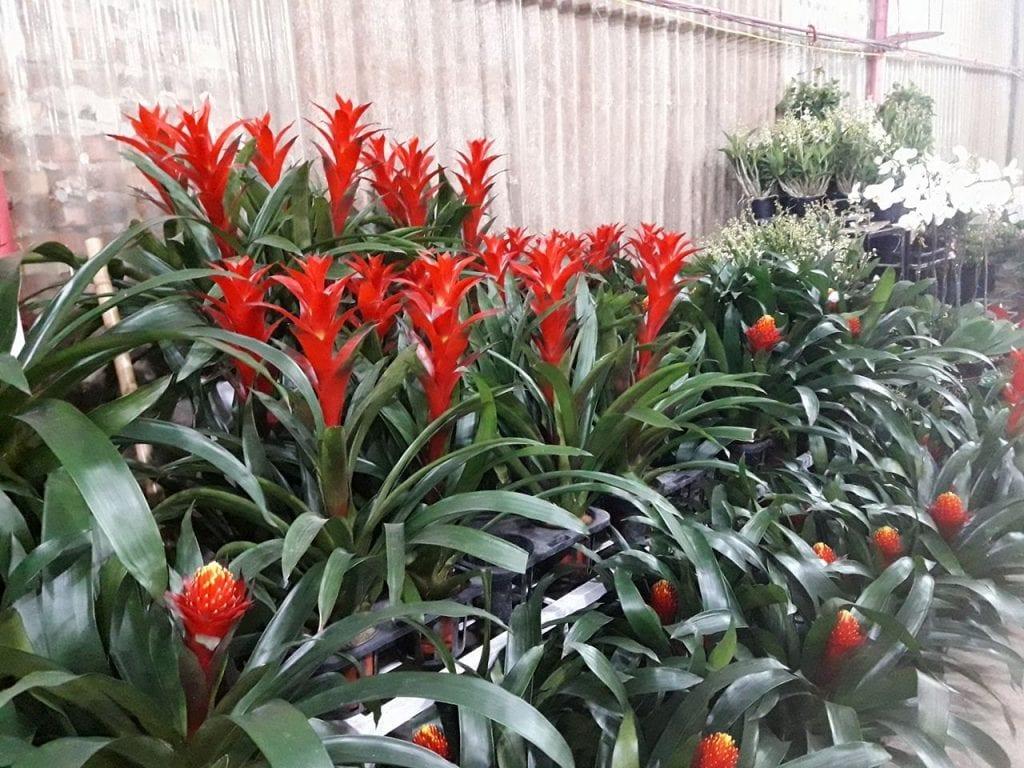 Cây phong lộc hoa – Mang may mắn mỗi dịp xuân về