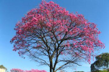 Cây chuông hồng – Cây trang trí độc đáo