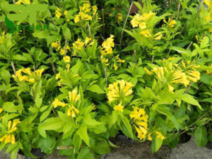 Cây chuông vàng có tốc độ sinh trưởng nhanh, sức chống chịu khắc nghiệt tốt