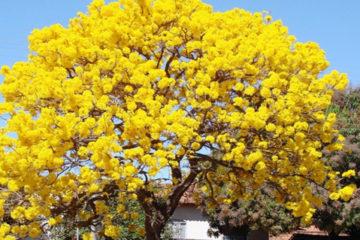 Cây chuông vàng – Cây sân vườn độc đáo và may mắn