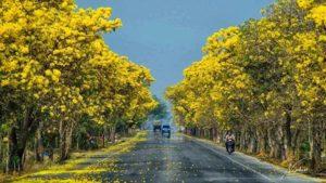 Cây chuông vàng được dùng nhiều trong trang trí ngoại thất, đô thị, sân vườn...