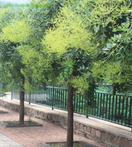 Cây hoa hòe là một loại cây công trình