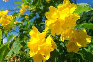 Cây chuông vàng tượng trưng cho địa vị, danh vọng, của cải