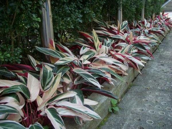 Cây hồng quân tử – mang thiên nhiên về nhà