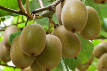 Cây Kiwi – Cây ăn quả độc đáo