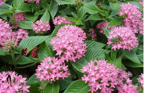Cây hoa diễm châu – cây trồng viền rực rỡ