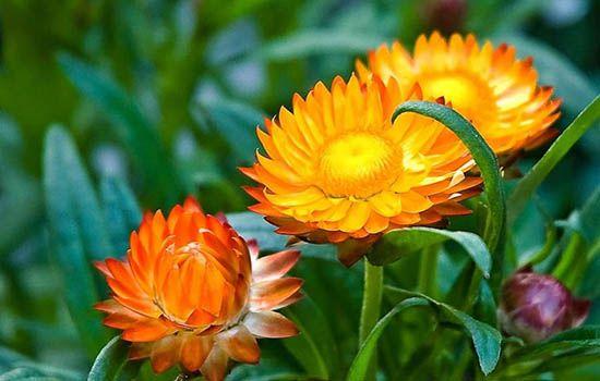 Cây hoa bất tử