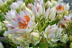 Hoa Ngọc Sắc nhiều màu sắc và có hoa khá to