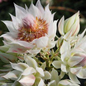 Cây tượng hoa Ngọc Sắc trưng cho ý chí kiên cường, vượt lên nghịch cảnh