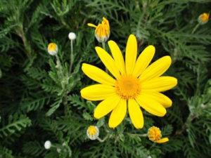 Hoa cúc thân gỗ rất đẹp, màu vàng